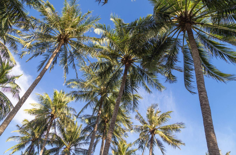 palmier abidjan