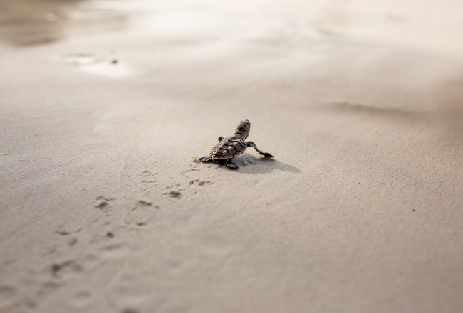 cute baby turtles head for the sea