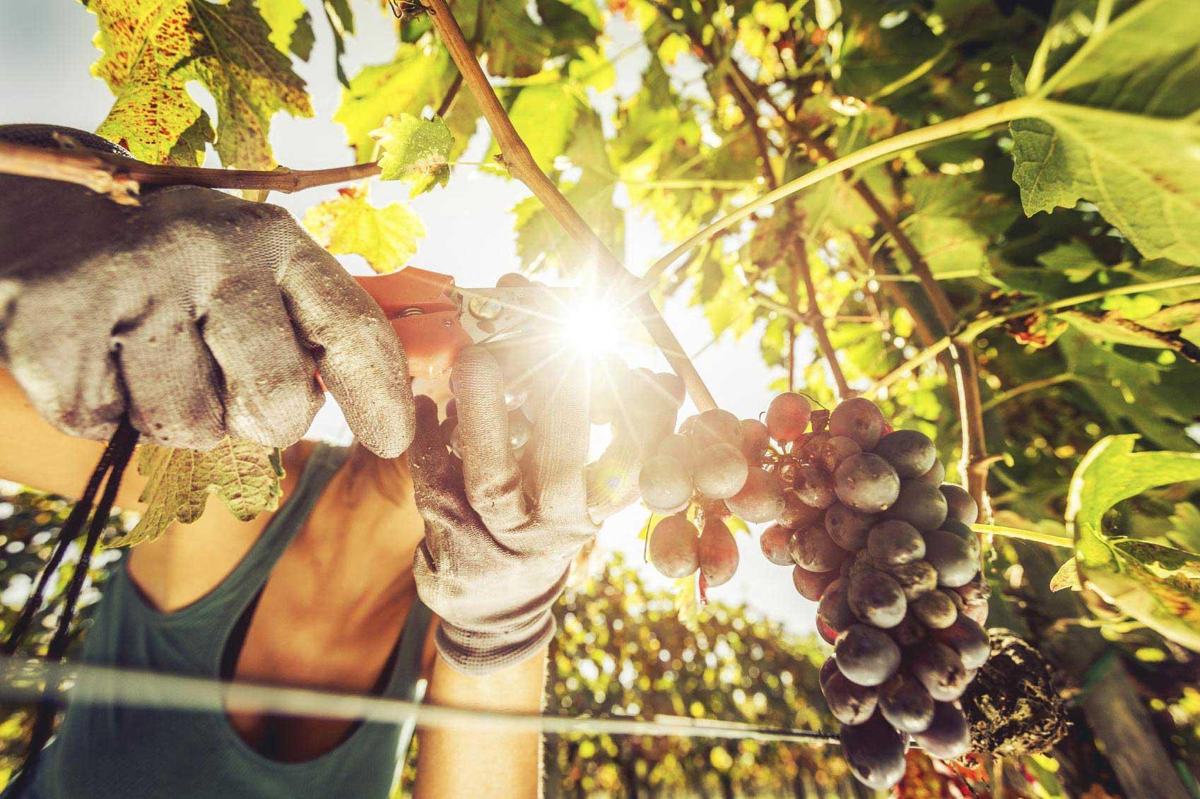 An der Weinlese teilnehmen