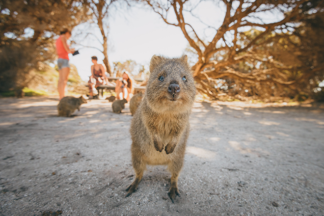 Quokka looking directly into the camera