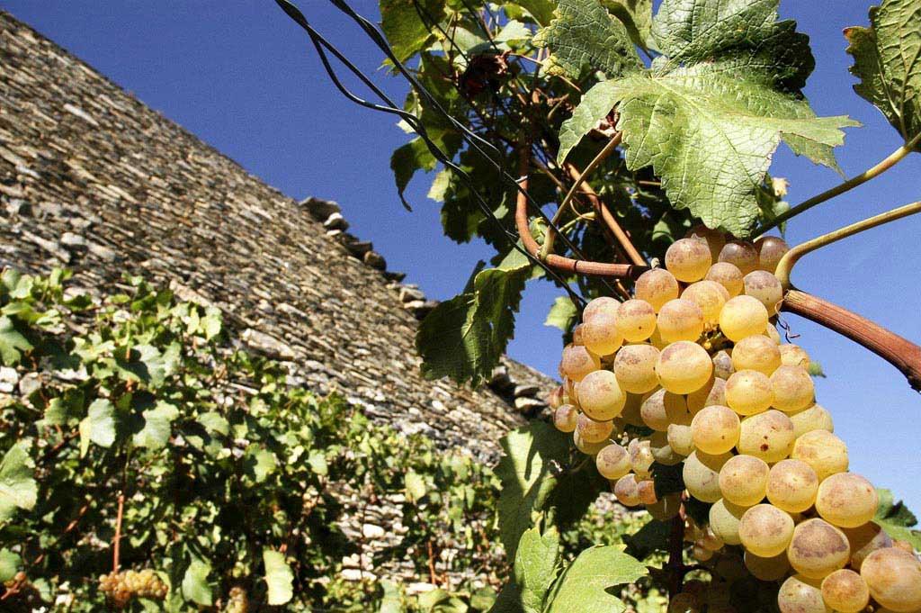 uvas verdes vinhedo